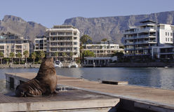 Cape Town seal Royalty Free Stock Image