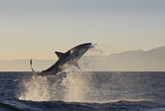 Cape Town, sharks, exhilarating jumping out of water, looks great, everyone has to see this scene once in your life. Water life, the colorful life there is not royalty free stock image