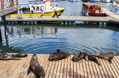 CAPE TOWN, SOUTH AFRICA - DECEMBER 23, 2017: group of Cape fur seal lying on wooden jetty under sun with people on excursion boat. At background in the city royalty free stock photography