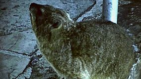 Cape Town Table Mountain rock hyrax. Rock hyrax close up in the Table Mountain Aerial nature reserve. Historical ARCHIVAL FOOTAGE in Cape Town city of South stock footage