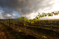 Cape Town vineyard. Early morning landscape near Steenberg, Cape Town Royalty Free Stock Images