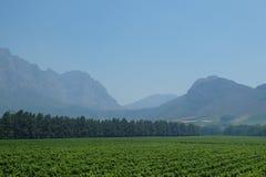 Cape Town Vineyard Stock Image