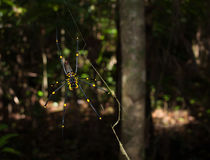 Cape Tribulation, Queensland Australia, 06/10/2013, Golden Orb spider arachnid , hanging in a web in a tropical forest, cape tribu Royalty Free Stock Photos