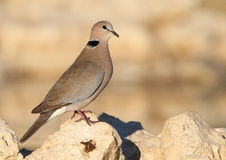 Cape Turtle Dove Stock Image