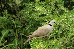 Cape Turtle Dove. Perched in tree, side view Stock Photos