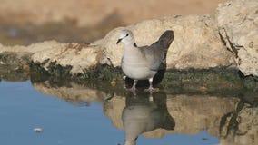 Cape turtle dove stock footage