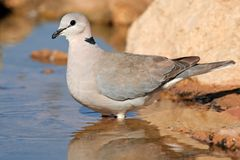Cape turtle dove Stock Photo
