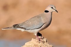 Cape turtle dove Stock Photography