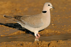 Cape turtle dove Royalty Free Stock Photos