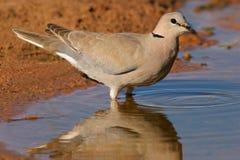 Cape turtle dove. (Streptopelia capicola) drinking water, Kalahari, South Africa stock photos