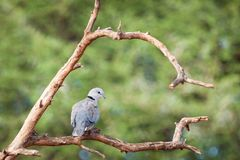 Cape turtle dove. Adult Cape turtle dove beautifully perched on a branc stock photo