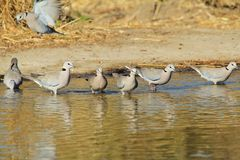 Cape Turtle Dove - African Wild Bird Background - Lined up Pleasure Stock Photos