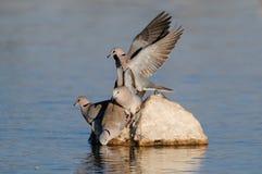 Cape turtle dove drink on a waterhole, etosha nationalpark, namibia Royalty Free Stock Photo