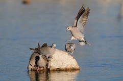 Cape turtle dove drink on a waterhole, etosha nationalpark, namibia Stock Images