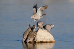 Cape turtle dove drink on a waterhole, etosha nationalpark, namibia Royalty Free Stock Image