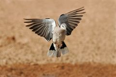 Cape turtle dove in flight Royalty Free Stock Images