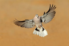 Cape turtle dove in flight royalty free stock image