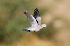 Cape turtle dove in flight Royalty Free Stock Photography