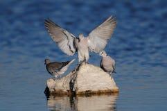 Cape turtle dove is landing at a waterhole, etosha nationalpark, namibia Stock Photography