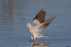 Cape turtle dove landing on a  waterhole, etosha nationalpark, namibia Royalty Free Stock Images