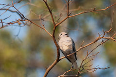 Cape Turtle Dove Royalty Free Stock Photo