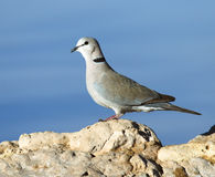 Cape turtle dove on a rock Stock Photo