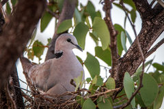 Cape turtle dove sitting in her nest. Royalty Free Stock Image