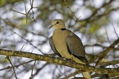 Cape Turtle Dove (Streptopelia capicola) Royalty Free Stock Images