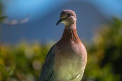 Cape Turtle Dove against mountain background stock images