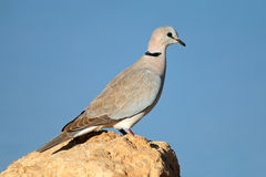 Cape turtle dove Royalty Free Stock Images