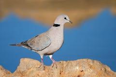 Cape turtle dove. (Streptopelia capicola) perched on a rock, Kalahari, South Africa Stock Image