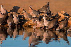 Cape Turtle Doves Royalty Free Stock Photography