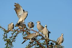 Cape turtle doves Stock Image