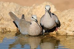 Cape turtle doves Royalty Free Stock Images