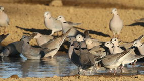 Cape turtle doves stock video footage