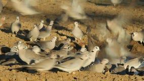 Cape turtle doves stock video