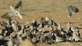 Cape turtle doves at waterhole stock footage
