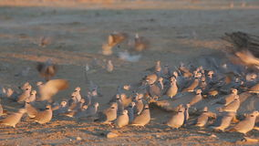 Cape turtle doves stock footage