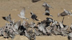 Cape turtle doves at waterhole stock video footage