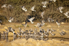 Cape Turtle Doves at waterhole. A flock of Cape Turtle Doves drinking and flying in to a waterhole in the Kalahari Desert. Kgalagadi Transfrontier Park, Northern royalty free stock image