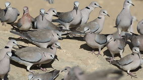 Cape turtle doves at waterhole stock video