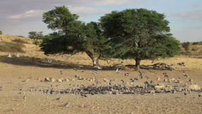 Cape turtle doves at a waterhole stock video footage