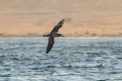 A Cape Verde Shearwater, Calonectris edwardsii. Stock Photography