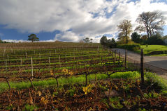 Cape Vine View. Early winter on cape Town wine estate Royalty Free Stock Images