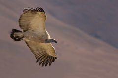 Cape Vulture Stock Photo