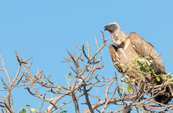 Cape Vulture Royalty Free Stock Images