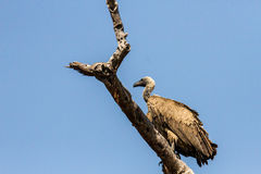 Cape Vulture on branch Royalty Free Stock Photography
