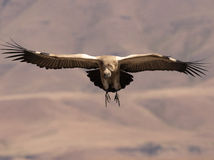 Cape Vulture coming in to land with wings fully extended and feet forward Royalty Free Stock Photography
