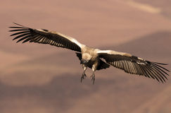Cape Vulture coming in to land with wings fully extended and feet forward Stock Photo