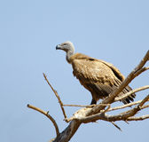Cape Vulture in dead tree Royalty Free Stock Image